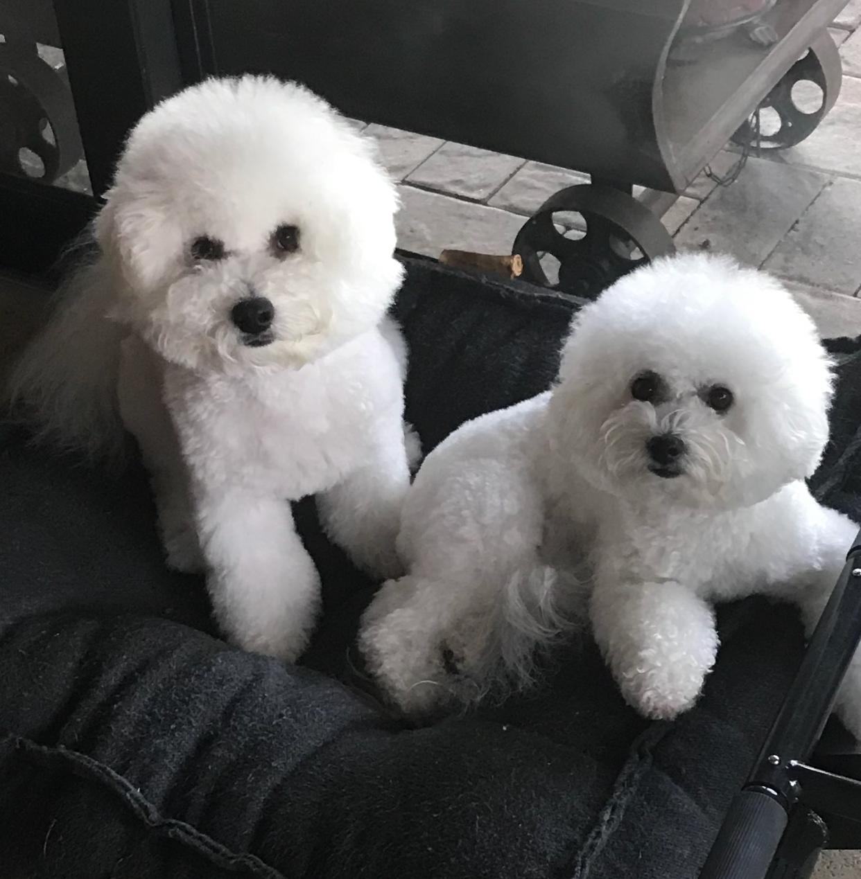Stelli & Kingsley - Custom Puppy Harnesses